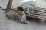 Sandcat (soort tijger met een groot kattenhoofd)