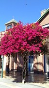 IMG_20160827_143225  Bougainvillea in bloei