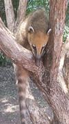 Rode neusbeer in boom