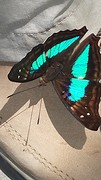 20161212_124606  Vlinder turquoise