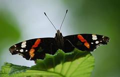 Onder de vlinderboom