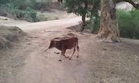 Overal lopen losse koeien