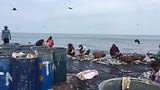 Vis wordt in bakken op het strand verzameld.