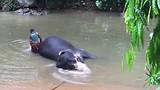 Olifant wordt gewassen door een mahout.