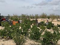 Ook in Jumilla ( Murcia) worden de druiven geplukt.