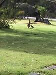 Pinnaroo Valley Memorial Park Kangaroo Mother with her baby