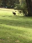 Kangaroo at Pinnaroo Valley Memorial Park