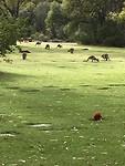 many Kangaroos at Pinnaroo Valley Memorial Park