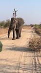 Horny olifant