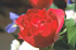 Sample Rose Image