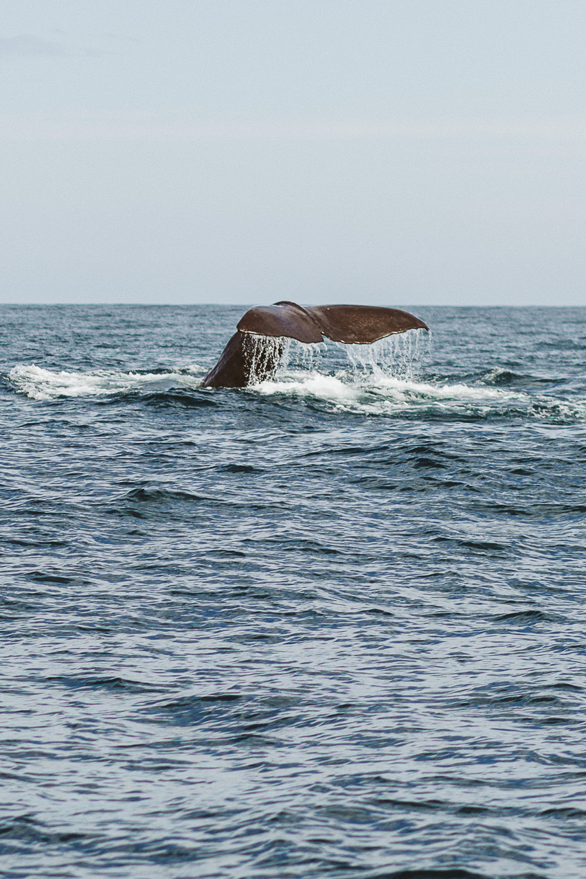 sperm whale in kaikoura