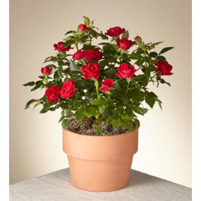 Valentine's Red Rose Plant