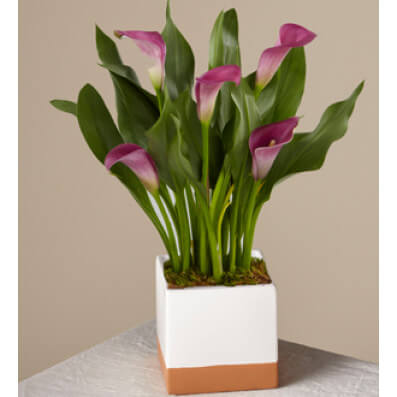 Purple Calla Lily