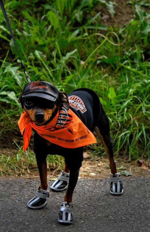 biker silly dog