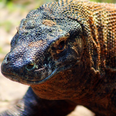 3 - Komodo Dragon - Top 10 Cryptids
