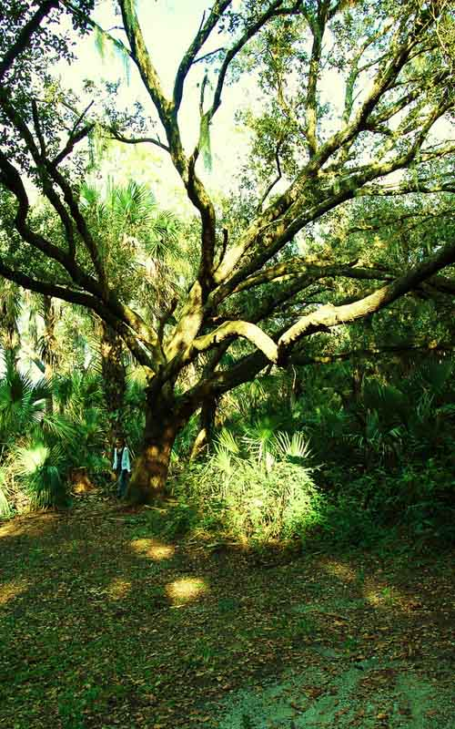 Devil's Tree in Oak Hammock Park, Port St. Lucie, Florida