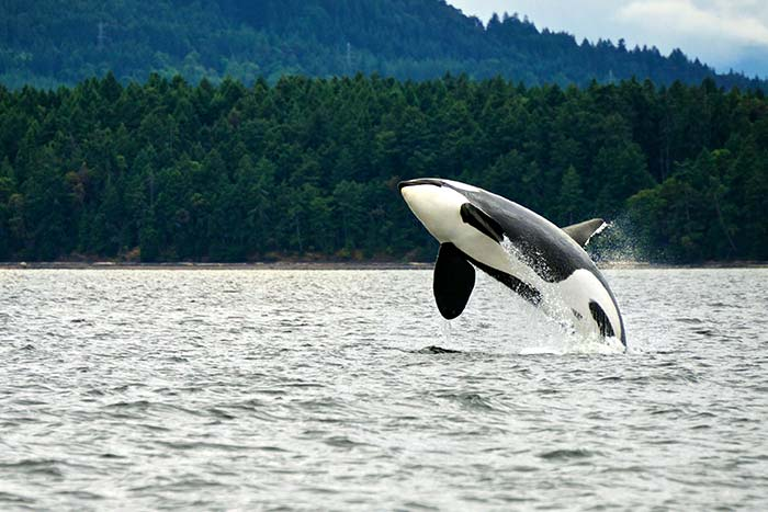 Orca Breach, BC Gulf Islands, Canada