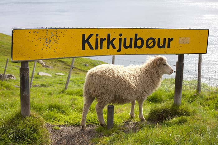 Sheep in Kirkjubour, Iceland