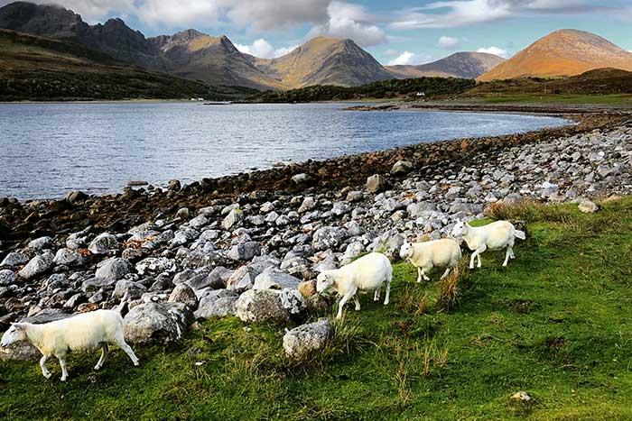 Sheep in Landscape, Scotland