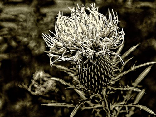 BackwaterStills.com - Thistle, Neutral Wall Art Prints - Art for Sale
