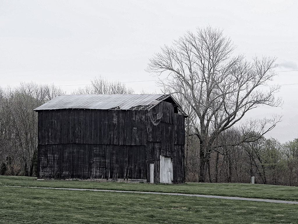 Photo of old black tobacco barn next to a large oak tree