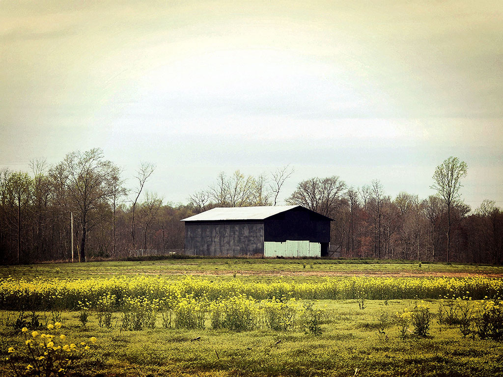 Wall art featuring a rustic black wooden barn in a field of yellow flowers
