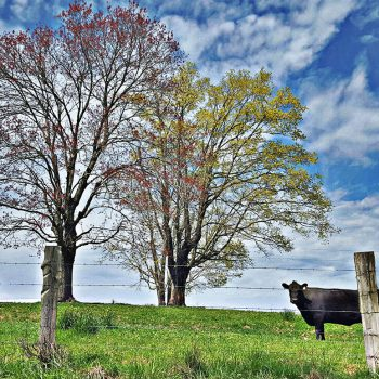 Wall art featuring a black cow, fall foliage and a striking blue sky