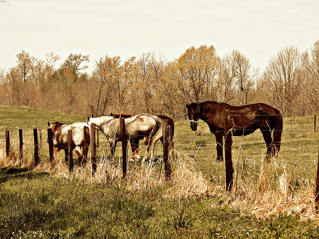 Product, Horse Wall Art: Three Amigos – Two white and one black horse standing by barbed wire fence