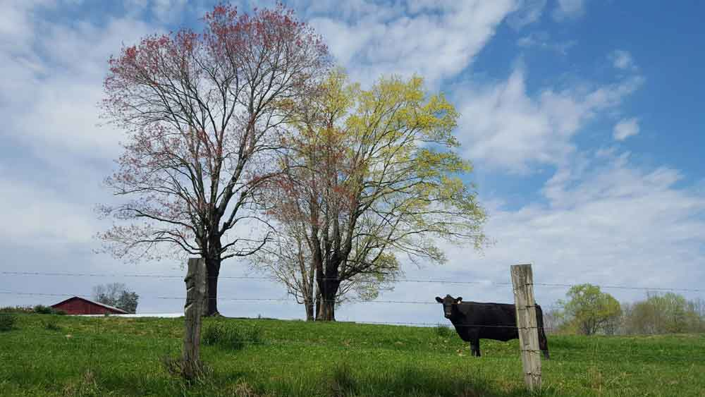 Original image of black cow in front of autumn trees with blue skies