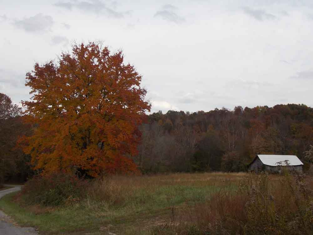 Original image of sugar maple fall foliage and old tobacco barn in front of mountains