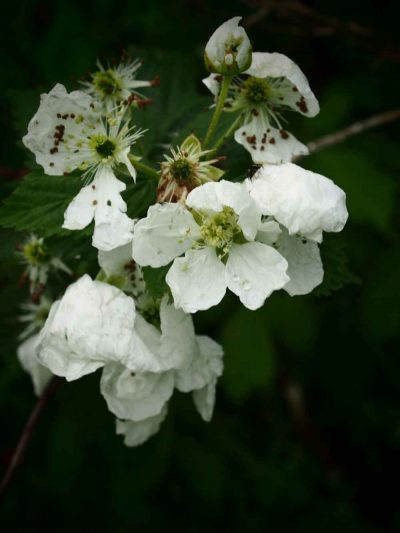 Original photo of white blackberry blossoms