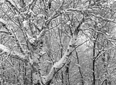 Snow on Birch by Frank Kaczmarek