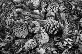 Pines by Daniele Regis