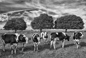 Amish Cows with Tree by William West Jr.