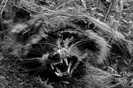 Dead Racoon by Bert Ihlenfeld