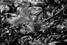 Iguana by Bert Ihlenfeld