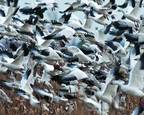 Snow Geese 4222 by Richard Paul Weiblinger