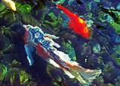 2 Koi and a Goldfish by Tara P. Zehnder