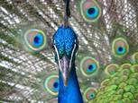 Peacock Stare by Kristin Belew