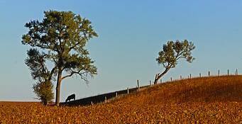 Cow Silhouette by Daniel Ruf