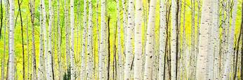 Aspens in Morning Sunshine by Steven Friedman