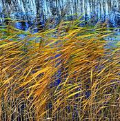 Reed -2 by Linda Koopman