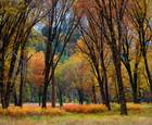 Autumn Black Oak Forest by Lon Overacker