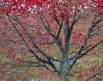 Red Maple by Ed Monnelly