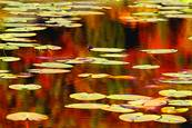 Water Lilies 2 by Umberto Sommaruga