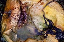Dead Pumpkins #1 by Peggy Barnett