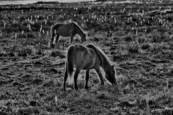 Assateague Ponies by Ron Hugo