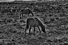 Assateague Ponies by Ron Hugo