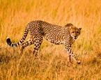Cheetah Stalk by Dawn Miller