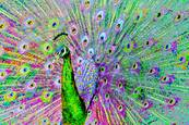 Psychedelic Peacock by Dolores Smart